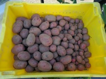 potatoes-bin
